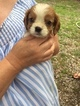 Cavalier King Charles Spaniel Puppy For Sale in SHERMAN, TX, USA
