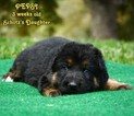 German Shepherd Dog Puppy For Sale in MURRIETA, CA, USA