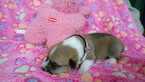 Pembroke Welsh Corgi Puppy For Sale in GARDEN GROVE, CA,
