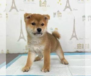 Shiba Inu Puppy for sale in DALLAS, TX, USA
