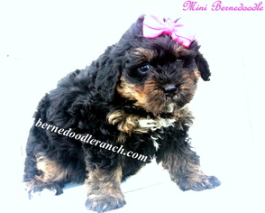 View Ad Miniature Bernedoodle Litter Of Puppies For Sale Near