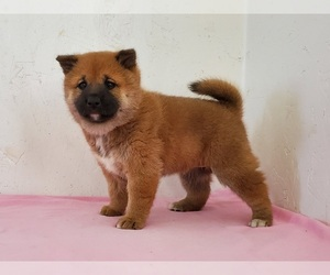 Shiba Inu Puppy for sale in CLARK, MO, USA