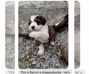 Sheepadoodle Puppy for sale in GRABILL, IN, USA