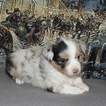 Miniature American Shepherd Puppy For Sale in BOLIVAR, MO, USA