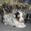Miniature American Shepherd Puppy For Sale in BOLIVAR, MO, USA