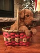 Goldendoodle Puppy For Sale in ELWOOD, IL,
