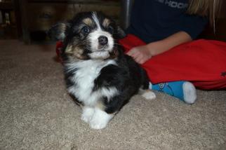 Pembroke Welsh Corgi Puppy for sale in STONEHAM, CO, USA