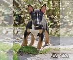 Small #8 Miniature Bull Terrier