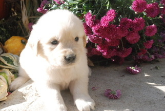 Golden Retriever Puppy For Sale in HOME, PA, USA