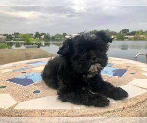 Shih Tzu Puppy for sale in HALLANDALE BEACH, FL, USA
