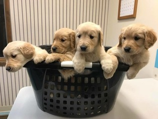 View Ad Golden Retriever Puppy For Sale Near Indiana Vincennes