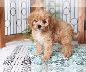 Cavapoo Dog for Adoption in NAPLES, Florida USA