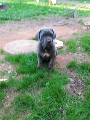 Cane Corso Puppy For Sale in ATLANTA, GA, USA