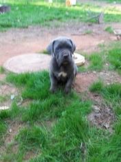 Cane Corso Puppy For Sale in ATLANTA, GA