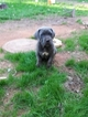 Cane Corso Puppy For Sale in ATLANTA, GA