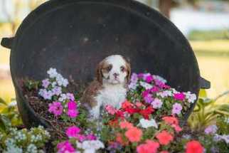 Cavalier King Charles Spaniel Puppy For Sale in BURKE, NY, USA