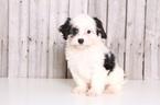 Cavachon Puppy For Sale in MOUNT VERNON, OH