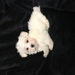 Maltese Puppy For Sale in HOUSTON, TX, USA