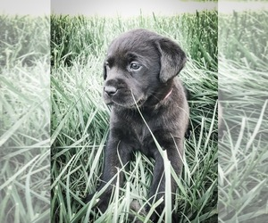 Labrador Retriever Puppy for Sale in NICHOLASVILLE, Kentucky USA