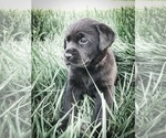Labrador Retriever Puppy For Sale in NICHOLASVILLE, KY, USA