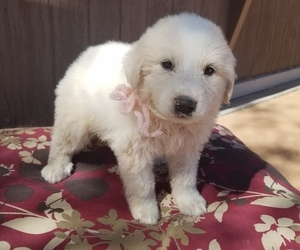 Great Pyrenees Puppy for sale in BENSON, AZ, USA