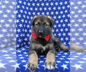 German Shepherd Dog Dog for Adoption in PEACH BOTTOM, Pennsylvania USA