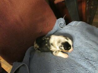 Australian Shepherd Puppy For Sale near 46706, Auburn, IN, USA