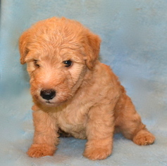 Lakeland Terrier Puppy For Sale in THEODOSIA, MO