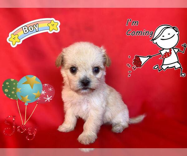 Medium Photo #2 Maltese-Maltipoo Mix Puppy For Sale in SAN FRANCISCO, CA, USA