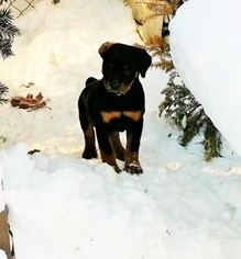 Rottweiler Puppy for sale in WINDSOR, ME, USA
