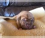 Puppy 9 Dogue de Bordeaux