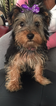 Yorkshire Terrier Puppy For Sale in BOLINGBROOK, IL
