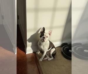 Boston Terrier Puppy for sale in MARLBORO, MD, USA