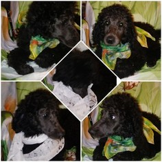 Poodle (Standard) Puppy For Sale in LANCASTER, CA, USA