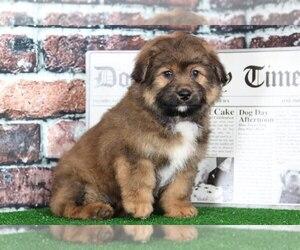 Aussie-Poo Puppy for sale in BEL AIR, MD, USA