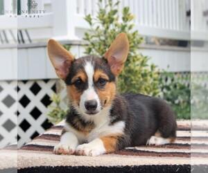Pembroke Welsh Corgi Puppy for sale in MORGANTOWN, PA, USA