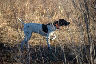 Mother of the German Shorthaired Pointer puppies born on 01/18/2019