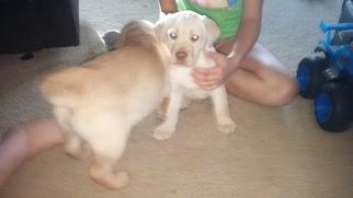 Labrador Retriever Puppy for sale in BRASHEAR, MO, USA