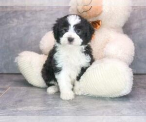 Australian Shepherd-Poodle (Miniature) Mix Puppy for Sale in AMITY, North Carolina USA