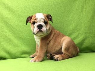 Bulldog Puppy for sale in GAINESVILLE, FL, USA