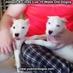 Small Photo #112 Dogo Argentino Puppy For Sale in PINEVILLE, MO, USA