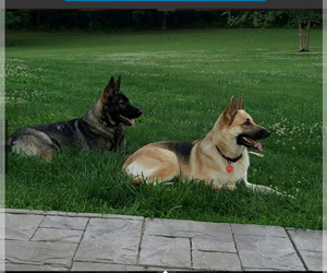 Mother of the German Shepherd Dog puppies born on 06/07/2020