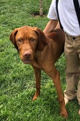 Vizsla Puppy For Sale near 91321, Newhall, CA, USA