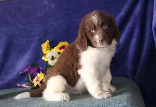 Newfoundland Puppy For Sale in NEW HOLLAND, PA