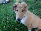 Collie Puppy For Sale in HILHAM, TN