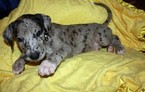 Great Dane Puppy For Sale in GREENVILLE, SC