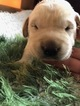 Labrador Retriever Puppy For Sale in MANSFIELD, OH, USA