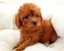 French Poodle Female Whitney