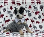 Small #2 Australian Cattle Dog