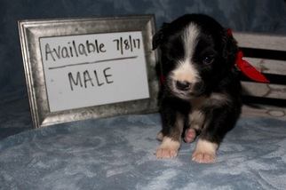 Australian Shepherd Puppy For Sale in ARP, TX, USA